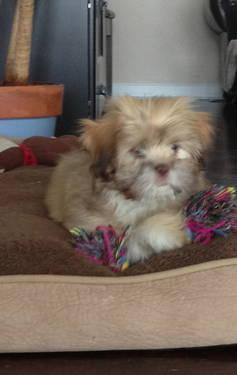 Lhasa Apso Puppy- 12 Weeks Old
