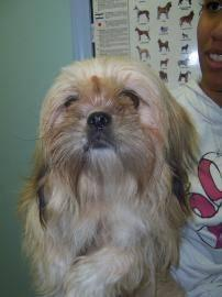 Lhasa Apso - Sophie - Small - Adult - Female - Dog