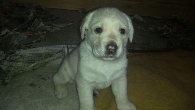 Limited Mix Labrador Retriever Puppies