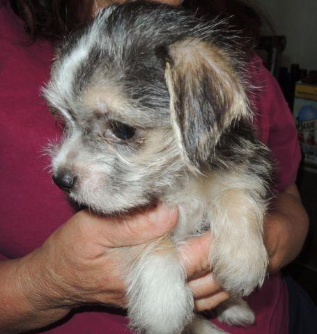 little girl maltese chihuahu tiny puppy malt-chi