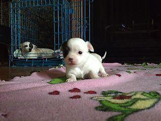 Long Haired Female Chihuahua Puppy