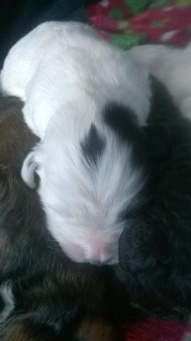 Loving, adorable...Springerdoodle pups
