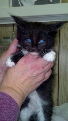 Maine Coon Cat male full registration adult in Jamesville