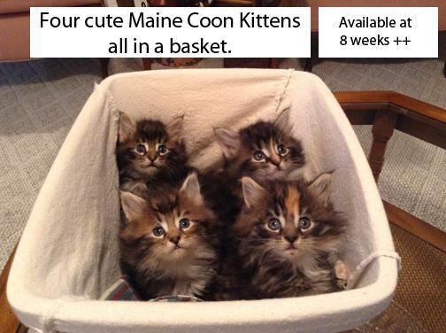Maine Coon Kittens from Momma