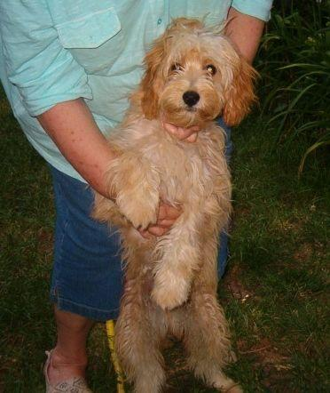 Male Cavapoo Puppy, 7 months old