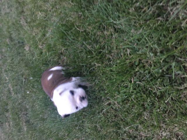 Male English Bulldog $500
