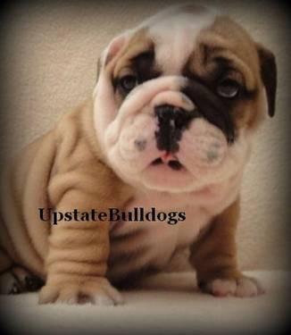 Male English Bulldog Puppy Diesel