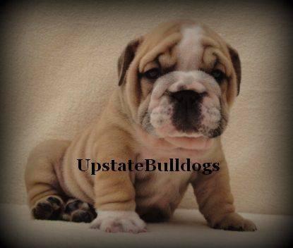 Male English Bulldog Puppy Messi