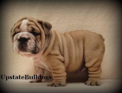 Male English Bulldog ZaZu