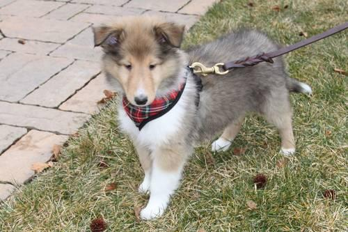 Male Rough Collie Puppy