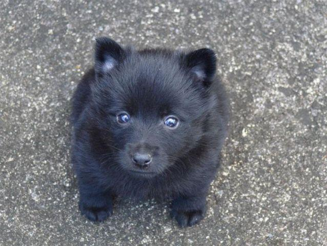 Male Schipperke Puppy - 3 Puppies left