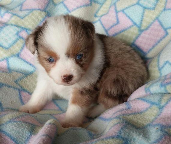Maltese / Mini Aussie Puppy