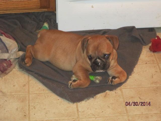 Mini Bulldogge pup