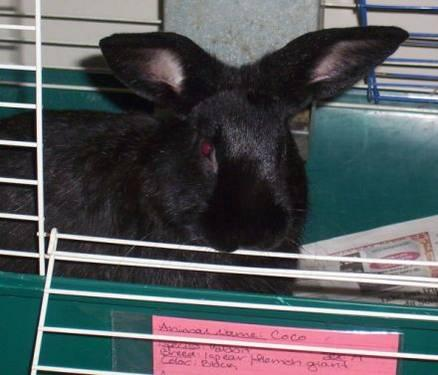 Mini Rex - Silver Bell - Small - Young - Male - Rabbit
