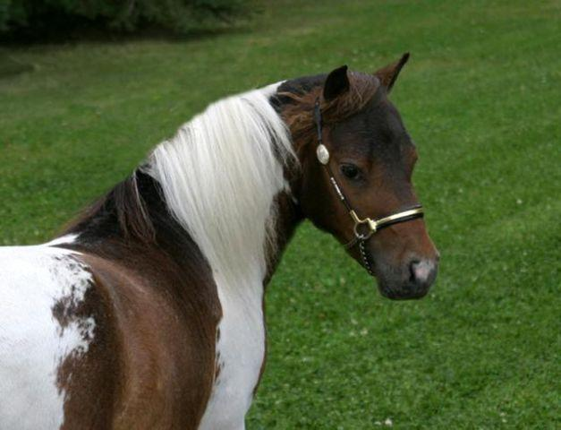 MINIATURE HORSE ~ MINI ~ FLASHY ~ HOMOZYGOUS ~ CHAMPION BLOODLINES
