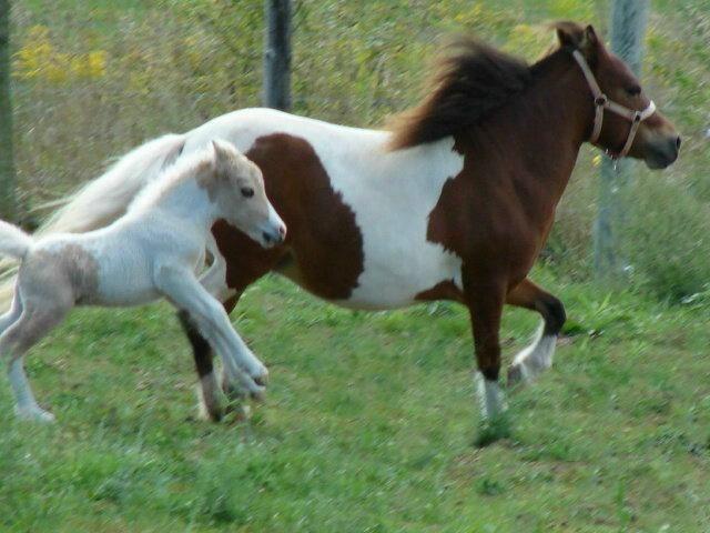 Miniature Horse ~ Mini Horse ~ Flashy Pinto Bred Mare ~ AMHA-R / PTHA