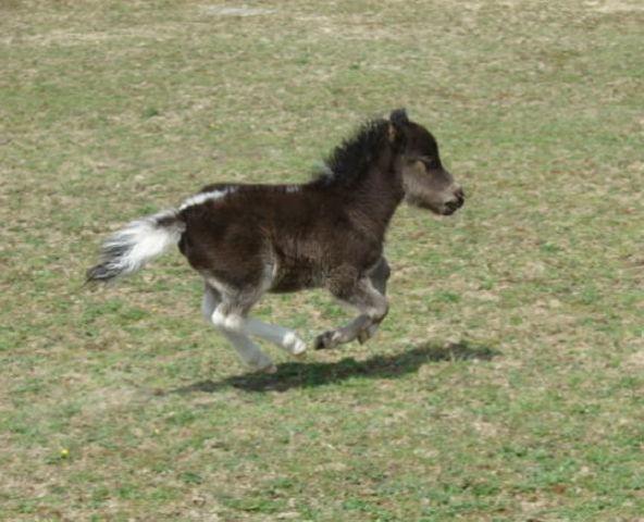 Miniature Horse ~ Mini Horse ~ Handsome & Petite Pinto ~ AMHA / AMHR