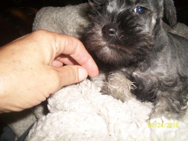 Miniature schnauzer Male puppy LAST ONE