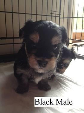 Morkie Puppies