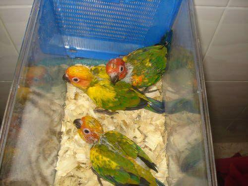 *NEGOTIATIOABLE* 6 week old sun conures, one for $290 or two for $550