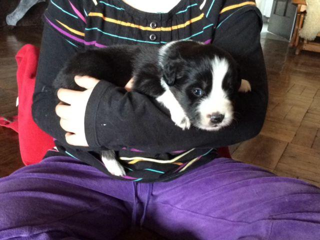 ***ONLY THREE LEFT*** Australian Shepherd/Border Collie Puppies
