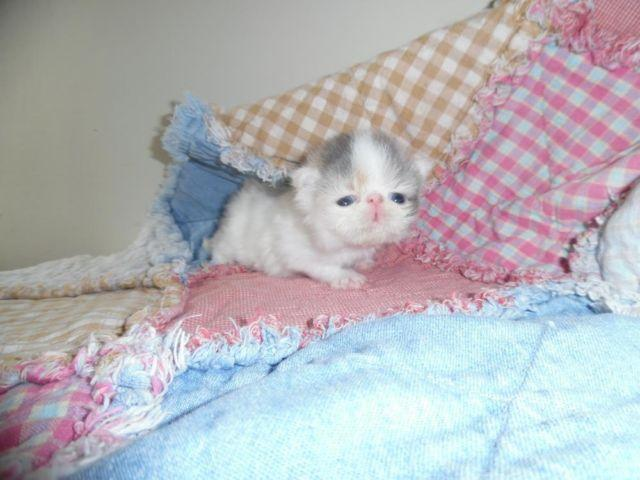 Persian Kitten female