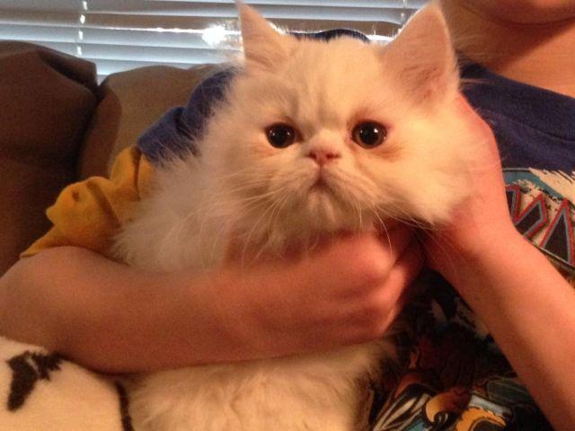 Persian kittens for sale--10 wks. old!!!