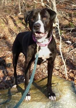 Pit Bull Terrier - Papa - Medium - Senior - Male - Dog