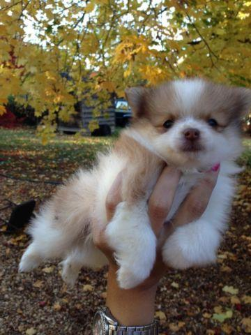 Pomerainian puppies looking for a home