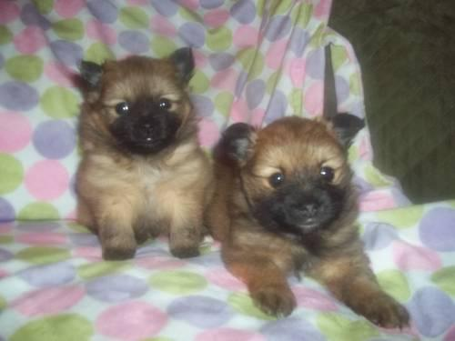 Pomeranian Puppies for sale in Beekmantown, New York
