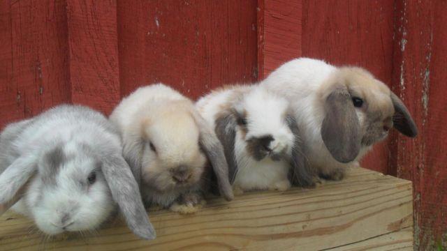 Pure Bred Mini Lop Bunnies