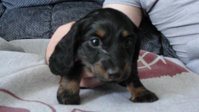 Pure Bred Miniature Dachshund puppies