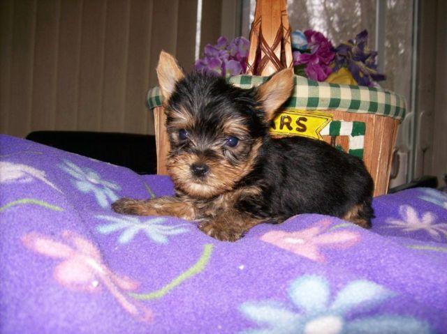 Purebred Austin 8 weeks old $950