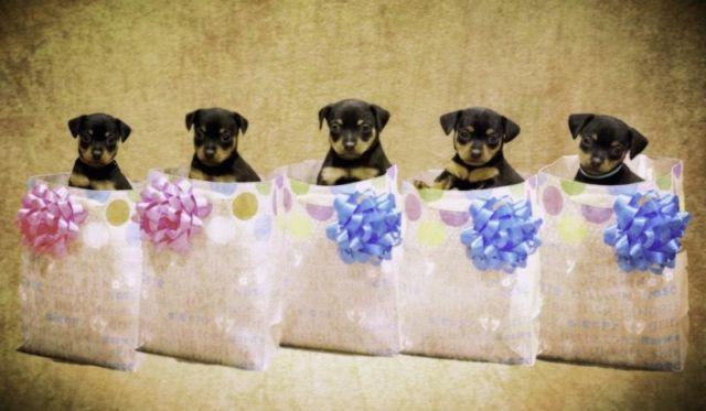 Purebred Miniature Pinscher/ Purebred Toy Black Russian Terrier