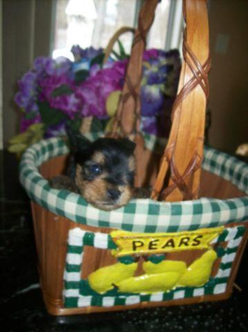 Purebred Teacup Yorkie Yorkshire Terrier Puppy M