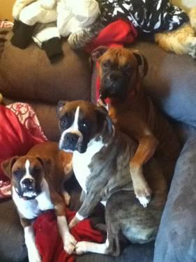 Purebreed boxer puppies