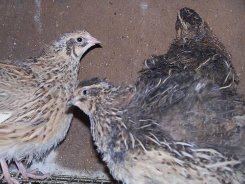 Jumbo coturnix quail - photo#8