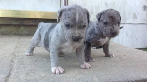 blue Merle pit bull puppies in East Yaphank, New York | New York