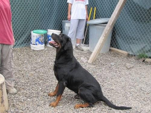 Rottweiler - Dexter - Large - Young - Male - Dog