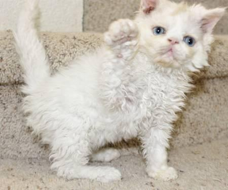 Pics Photos - Persian Exotic Shorthair Kittens Price 300 500 In Austin