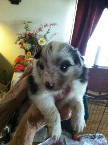 Sheltie Puppies For Sale Ready June 20th All Male AKC