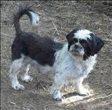 Shih Tzu - Mollie And Harry - Small - Adult - Male - Dog