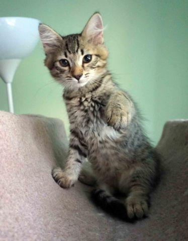 Siberian kitten, hansom male!! DOB 04-03-16