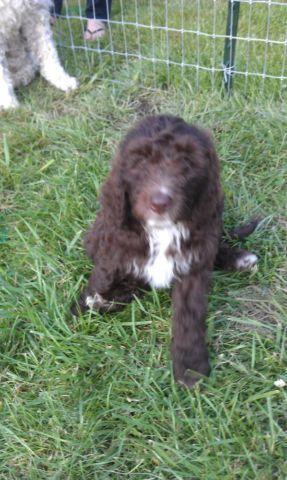Springerdoodle Puppy-born May 24, 2014