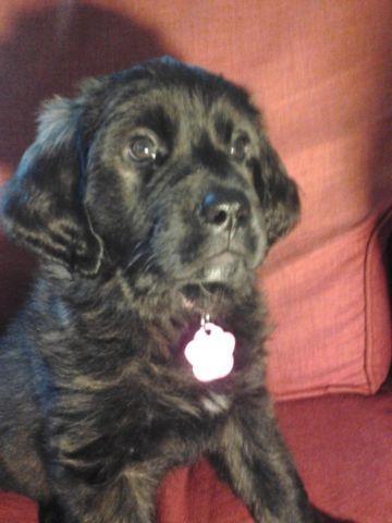st bernard / golden retriever mix puppies