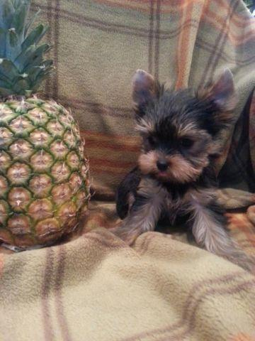 Teacup AKC Yorkshire terrier Yorkie Puppy
