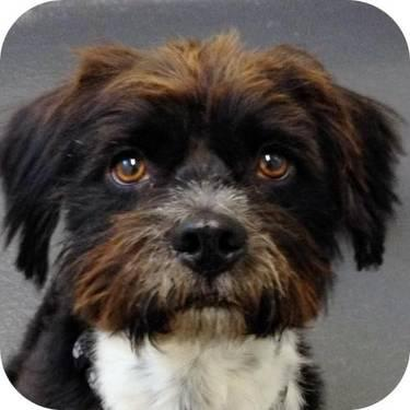 Terrier - Baxter - Small - Adult - Male - Dog