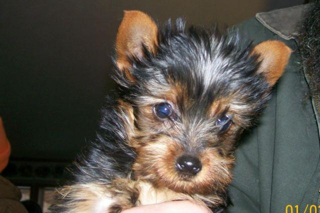 THIS PUP NO LONGER AVAILABLE. NEW LITTER COMING SOON!!