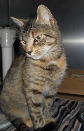 Torbie - Lola - Medium - Adult - Female - Cat
