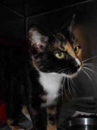 Tortoiseshell - Pumpkin - Medium - Young - Female - Cat